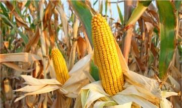 Estoque de milho do Brasil deve fechar temporada no maior volume da história