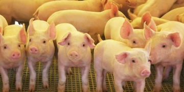 Preço pago pelo quilo do suíno vivo tem queda de mais 12 centavos no RS