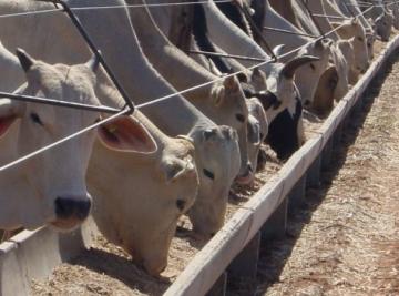 Pecuaristas não querem vender gado pra JBS