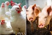 Custos de produção de suínos e de frangos de corte têm mais um mês de queda