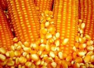 Produtividade incerta de milho no Brasil retrai vendedor e eleva preços