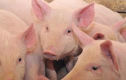 Bem-estar animal entre as tendências mais importantes da suinocultura