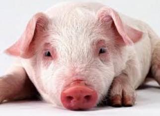Suínos sem estresse viram regra de bem-estar animal, inclusive no abate