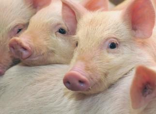 Análise prevê crescimento de até 5% nas exportações de carne suína em 2018