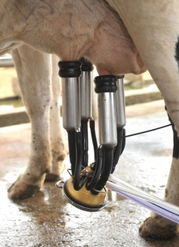Bom para todo mundo: vem aí geração de vacas aptas a dar leite que não causa alergia