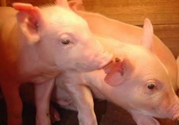 SUÍNO/CEPEA: Menor oferta para abate mantém preços estáveis na maior parte das regiões