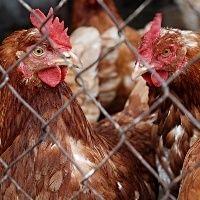 Desempenho do frango vivo na segunda semana de junho