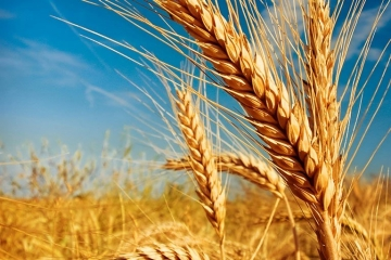 Clima favorece implantação das culturas de inverno no RS
