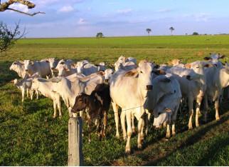 Confinamento incerto diminui a procura por boi magro