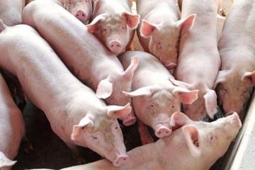 Preços do suíno vivo disparam na maior parte dos estados