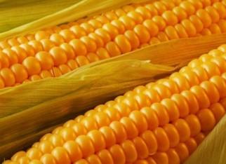 Forte queda do dólar afeta movimentação do milho