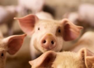 Custo de produção do quilo de suíno vivo passa dos 4 reais em maio