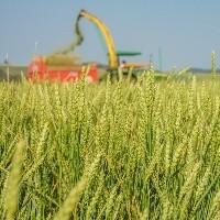 Clima pode prejudicar trigo brasileiro