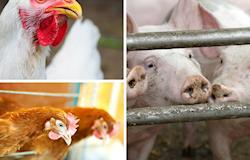 BNDES Giro está disponível ao setor de proteína animal