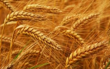 Plantio do trigo está quase concluído no RS