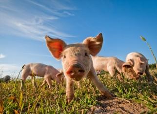 Rússia pode voltar a importar carne suína até o fim deste mês