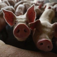 Suínos: procura aumenta e eleva cotações do vivo em algumas regiões
