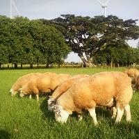 Consultoria em ovinocultura garante carne de qualidade