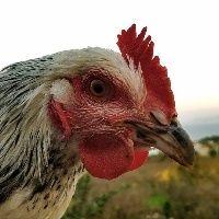 Brasil embarca 168,8 mil toneladas de frango no acumulado de agosto