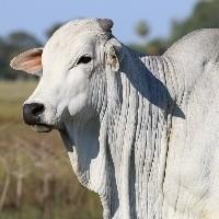 Mercado do boi gordo ganha fôlego