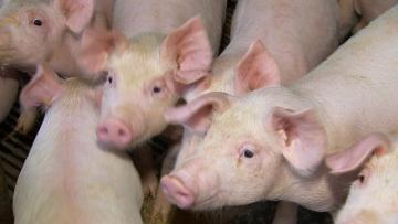 Frigoríficos esperam ao menos 3 anos de alta nas exportações de carne de frango e de porco devido à peste suína
