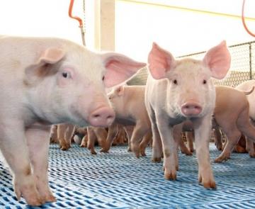 Brasil soma 24,6 mil toneladas de carne suína embarcadas na segunda semana do mês