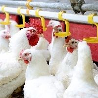Início de mês traz firmeza ao mercado atacadista de frango