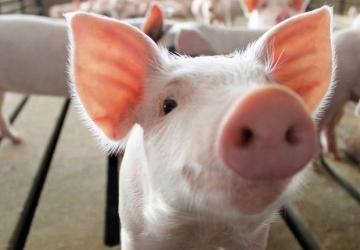 Preços da carne suína podem subir ainda mais