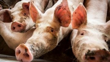 Sobe para 6,27 milhões número de animais eliminados por peste suína na Ásia