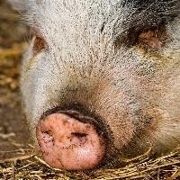 Brasileiros estão comendo mais carne de porco