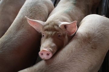 Preços dos suínos sobem puxados pela China