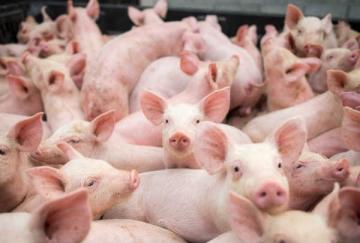 Santa Catarina amplia as exportações de carne suína para a China