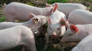Com habilitações, exportação de miúdos de suínos para a China deve crescer