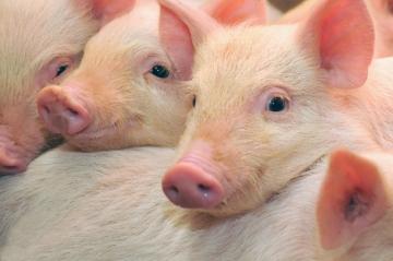 Consumo interno e exportações dão sustentação ao mercado de suínos
