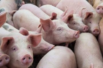Boa demanda mantém viés de alta no mercado de suínos