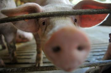 Principais notícias do mercado de suínos