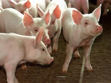 Demanda se enfraquece e preços do suíno vivo e da carne recuam