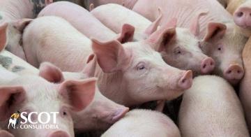 Fevereiro começa com preços em queda no mercado de suínos