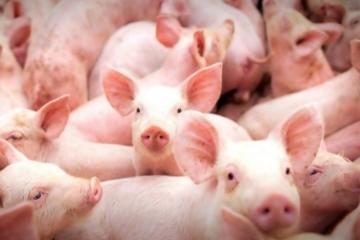 Rodeio Bonito lidera ranking de abates de suínos pelo terceiro ano consecutivo