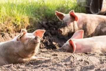 Exportações de carne suína somam US$ 73,7 milhões na parcial de março
