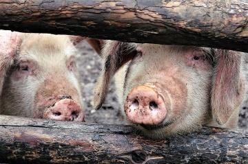 China oferece incentivos para impulsionar suinocultura
