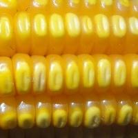 Nona queda consecutiva dos preços do milho