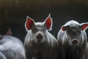 Exportação de carne suína cresce mesmo com problemas logísticos causados por coronavírus