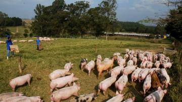 OIE confirma dois novos focos de peste suína africana na China