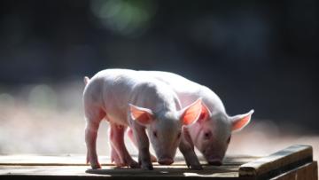 OIE confirma 440 novos surtos de peste suína no mundo