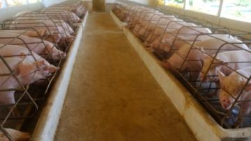 Reabertura do comércio impulsiona preços dos suínos
