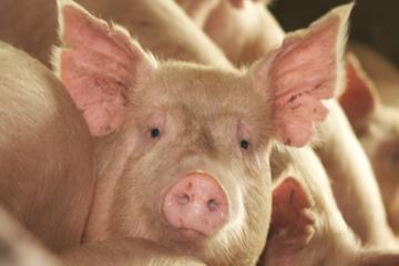 Preço do suíno se recupera em julho após forte queda no início da pandemia