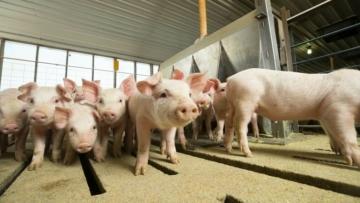 Aditivos podem reduzir o risco de propagação da peste suína, aponta pesquisa