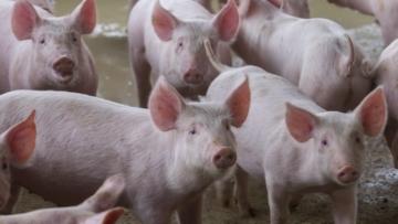 Preço do quilo vivo do suíno alcança R$ 8,79