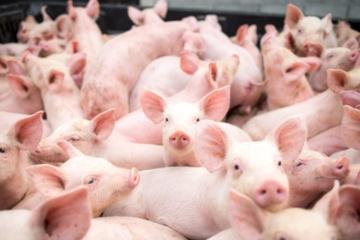 Preços do suíno vivo sobem em quase todas as regiões; exportações estão aquecidas